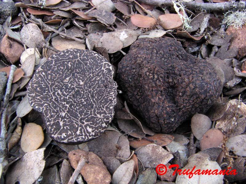 Tuber melanostrum. Foto cedida por Trufamania.com
